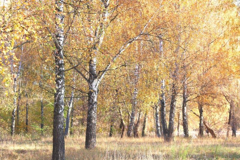 Mooie scène met berken in geel de herfstbos royalty-vrije stock afbeelding