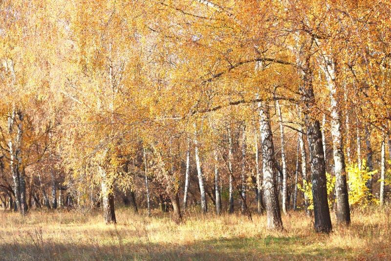 Mooie scène met berken in geel de herfstbos stock afbeeldingen