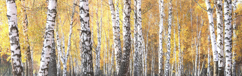 Mooie scène met berken in geel de herfstbos stock foto's