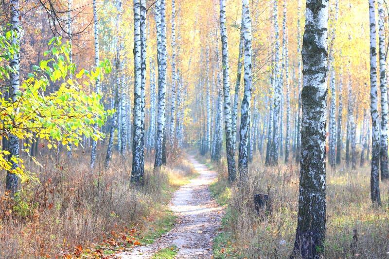 Mooie scène met berken in geel de herfstbos stock foto