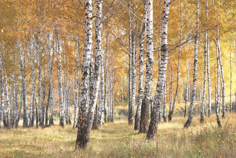Mooie scène met berken in geel de herfstbos royalty-vrije stock foto's