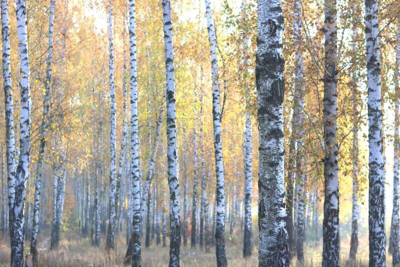 Mooie scène met berken in het gele bos van de de herfstberk in oktober royalty-vrije stock afbeeldingen