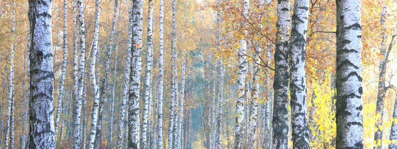 Mooie scène met berken in het gele bos van de de herfstberk in oktober royalty-vrije stock foto's