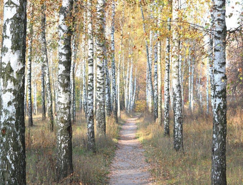 Mooie scène met berken in het gele bos van de de herfstberk in oktober stock foto