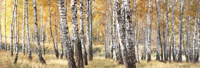 Mooie scène met berken in het gele bos van de de herfstberk in oktober stock afbeeldingen