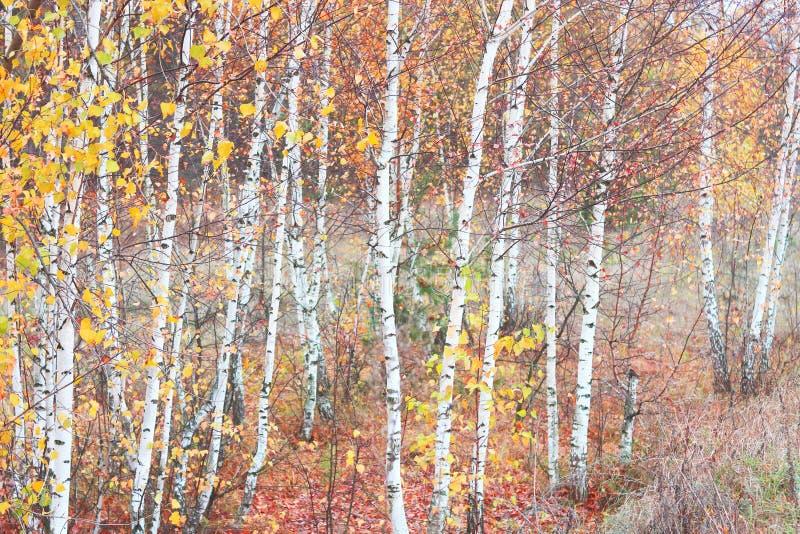 Mooie scène met berken in het gele bos van de de herfstberk in oktober onder andere berken stock afbeelding