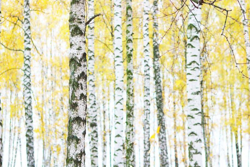 Mooie scène met berken in het gele bos van de de herfstberk in oktober onder andere berken stock afbeeldingen