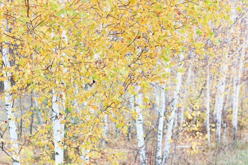 Mooie scène met berken in het gele bos van de de herfstberk in oktober onder andere berken stock foto's