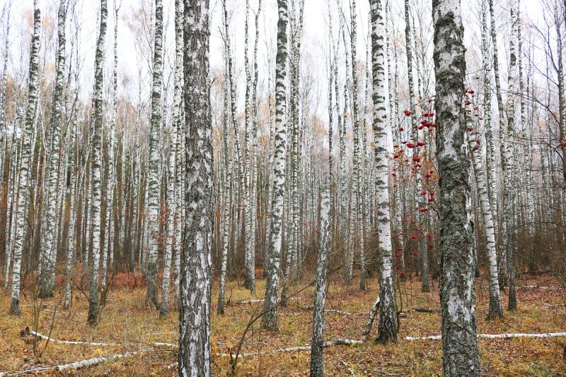 Mooie scène met berken in het gele bos van de de herfstberk in oktober onder andere berken royalty-vrije stock fotografie