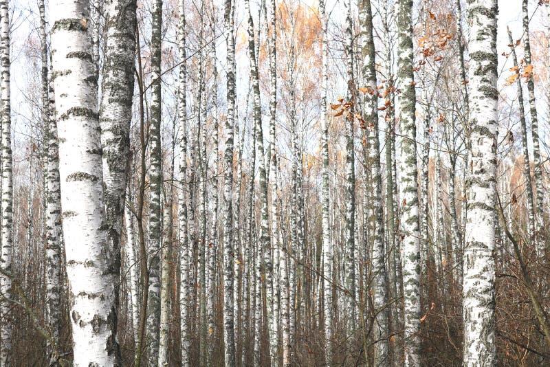 Mooie scène met berken in het gele bos van de de herfstberk in oktober onder andere berken stock fotografie