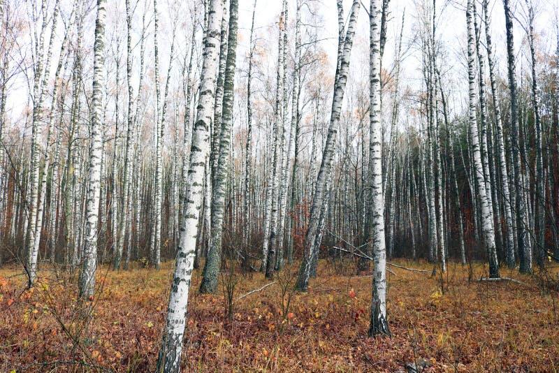 Mooie scène met berken in het gele bos van de de herfstberk in oktober onder andere berken royalty-vrije stock afbeelding