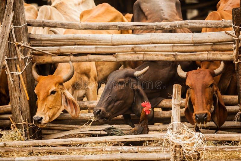 Mooie scène van haanhaan die voorbij Vee lopen terwijl het voeden van droog stro in het natuurlijke landelijke landbouwlandbouwbe stock foto
