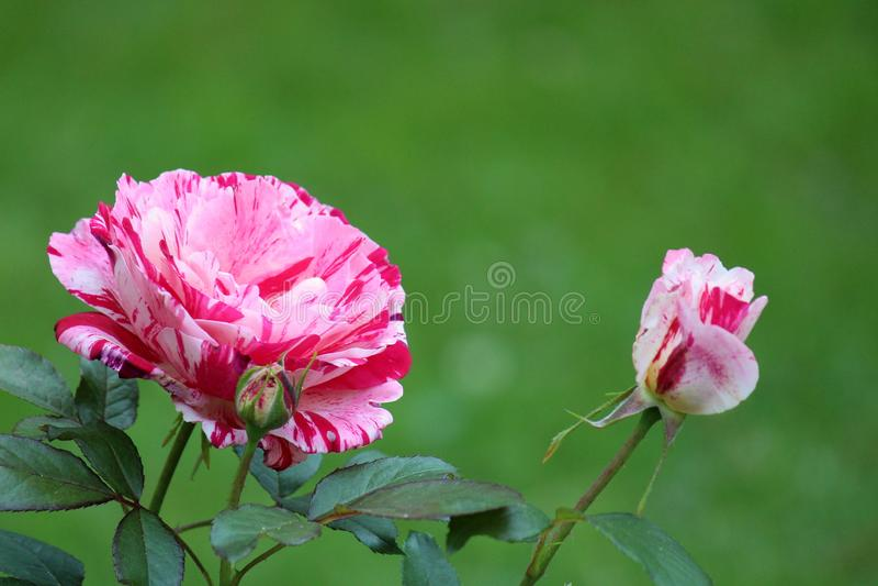 Mooie scène van pepermunt gestreepte rozen in bloemtuin stock foto