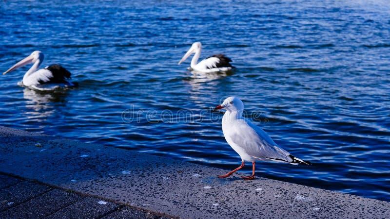 mooie seagul op een kust stock afbeelding