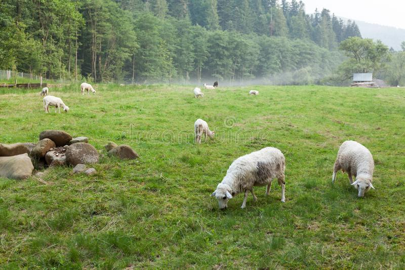 Mooie sheeps, wollandbouwbedrijf De herfstplatteland Lam op gebied stock afbeeldingen