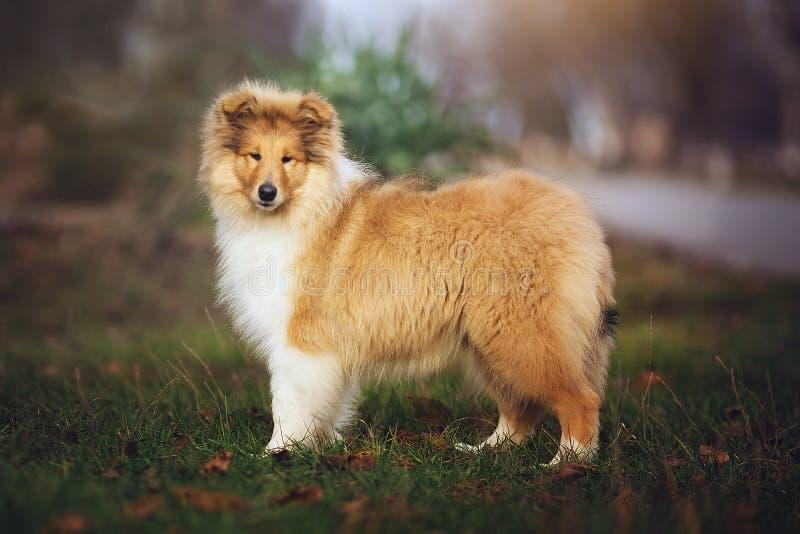 Mooie Sheltie-hond op de aard royalty-vrije stock foto