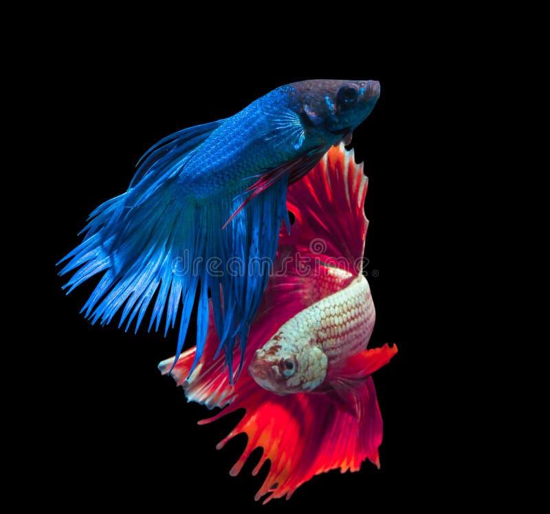 Mooie siamese het vechten vissen op zwarte stock foto's