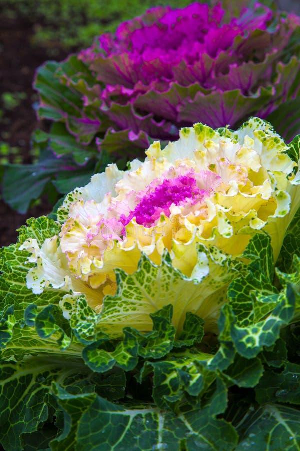 Download Mooie Sierkool In Het Landschapsontwerp Stock Foto - Afbeelding bestaande uit flora, anti: 107706714