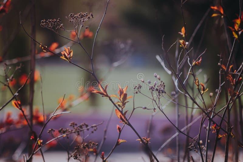 Mooie spirea met rode bladeren royalty-vrije stock afbeeldingen
