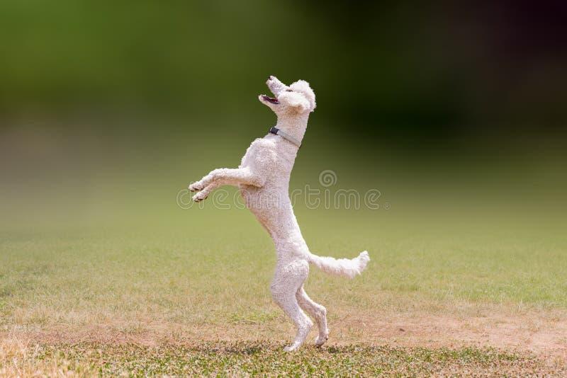 Mooie sprong van een witte poedelhond royalty-vrije stock foto