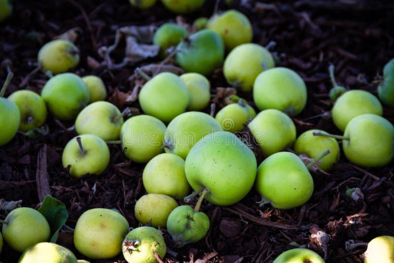 Mooie stapel van groene appelen op grond van het feit dat van de boom zijn gevallen royalty-vrije stock foto