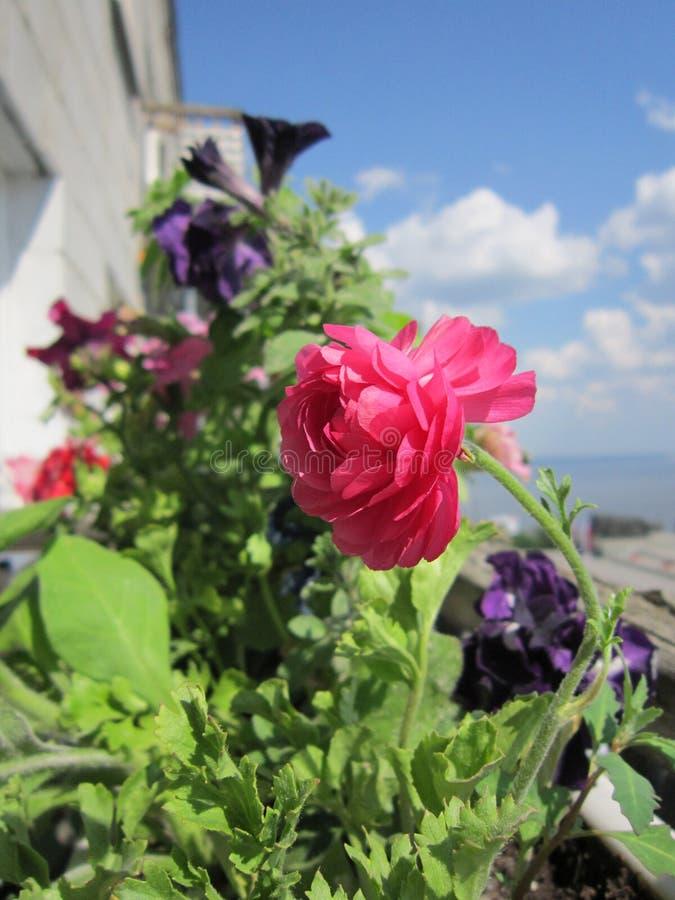 Mooie stedelijke bloeiende tuin op het balkon Roze bloem van Ranunculus asiaticus of Perzische boterbloem op voorgrond royalty-vrije stock fotografie
