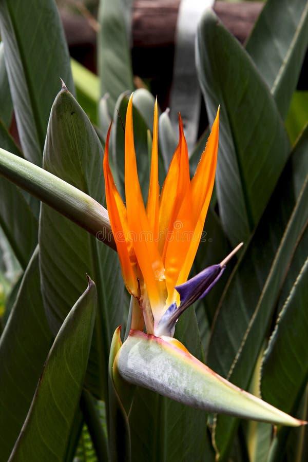 Mooie Sterlitzia-bloem royalty-vrije stock afbeeldingen