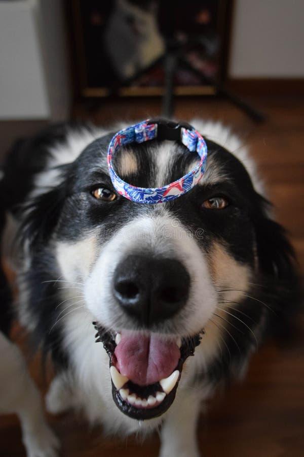 Mooie, stijlvolle armband zelfs voor honden:- stock afbeelding