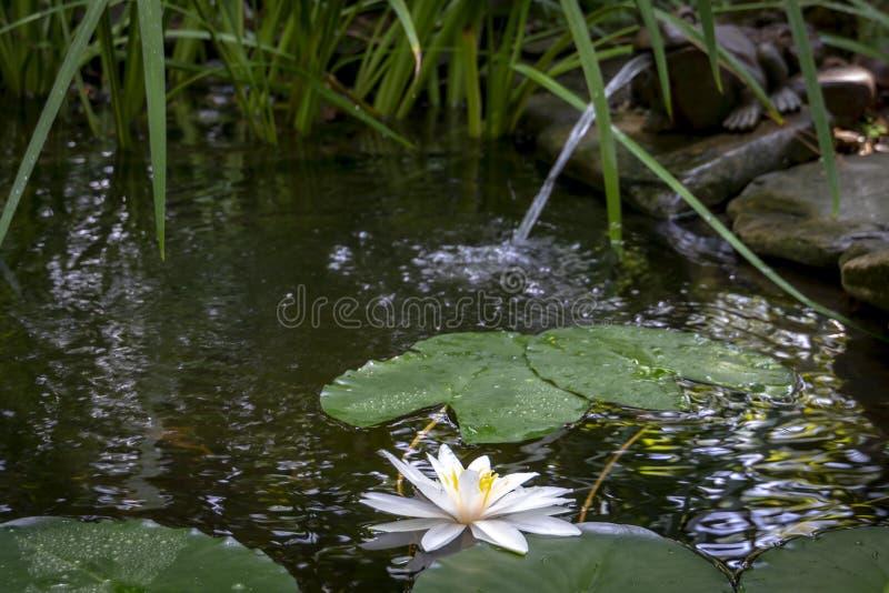 Mooie stroomversnellinglelie Marliacea Rosea of lotusbloembloem in de voorgrond Zachte vage achtergrond van een oude vijver stock foto