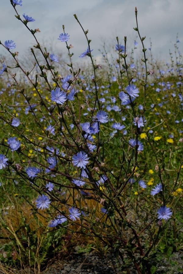 Mooie struik die van wild witlof op het gebied bloeien stock foto's