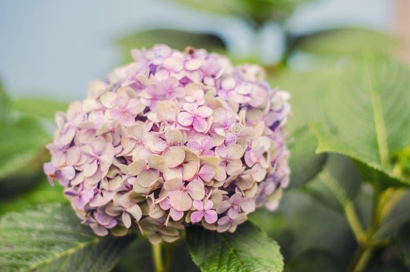 Mooie struik van hydrangea hortensiabloemen in een tuin stock fotografie