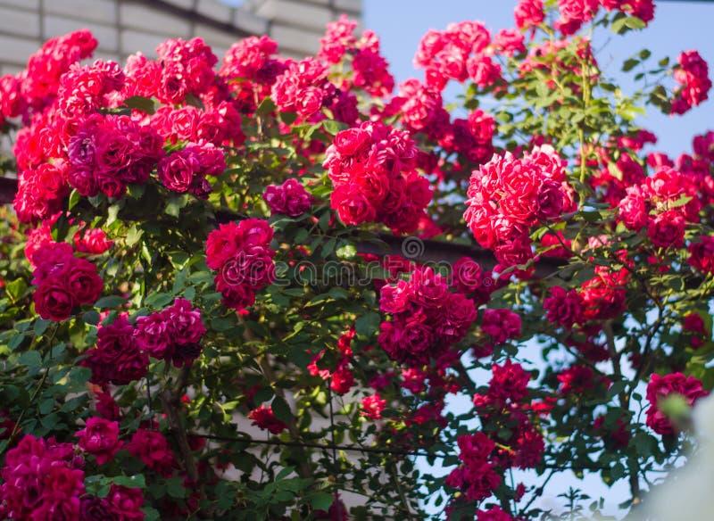 Mooie struik van roze rozen in een de lentetuin op een zonnige dag stock fotografie