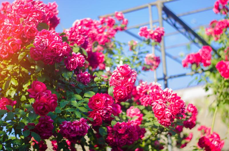 Mooie struik van roze rozen in een de lentetuin op een zonnige dag royalty-vrije stock foto