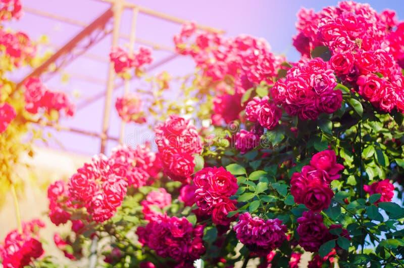 Mooie struik van roze rozen in een de lentetuin op een zonnige dag stock afbeeldingen