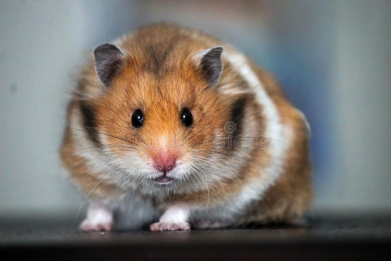 Mooie Syrische Hamster Sluit omhoog stock afbeeldingen