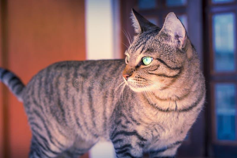 Mooie Tabby Cat Thinking stock afbeelding