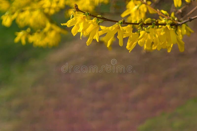 Mooie tak van het bloeien forsythia op een vage achtergrond De ruimte van het exemplaar Zachte nadruk De kaart van de lente stock foto