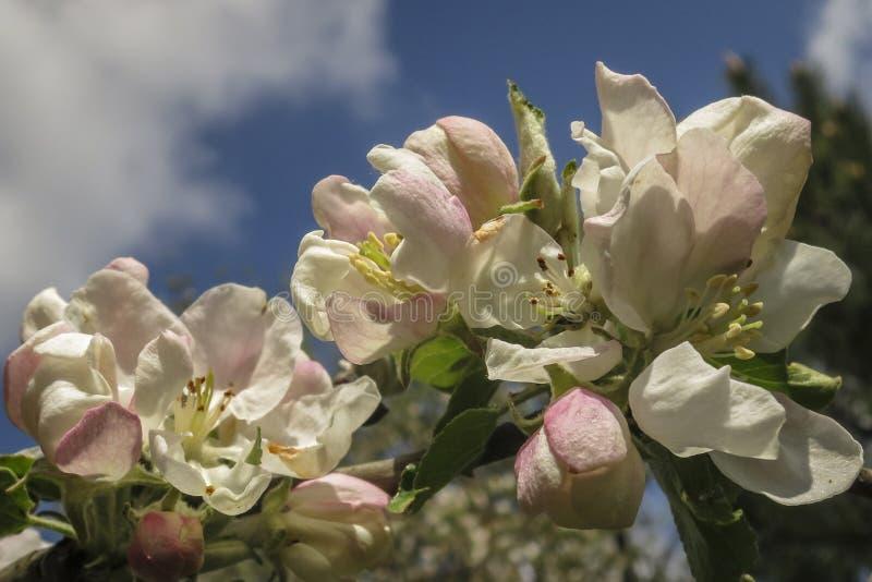 Mooie tak van tot bloei komende Apple-boom tegen de blauwe de lentehemel met witte wolken stock foto