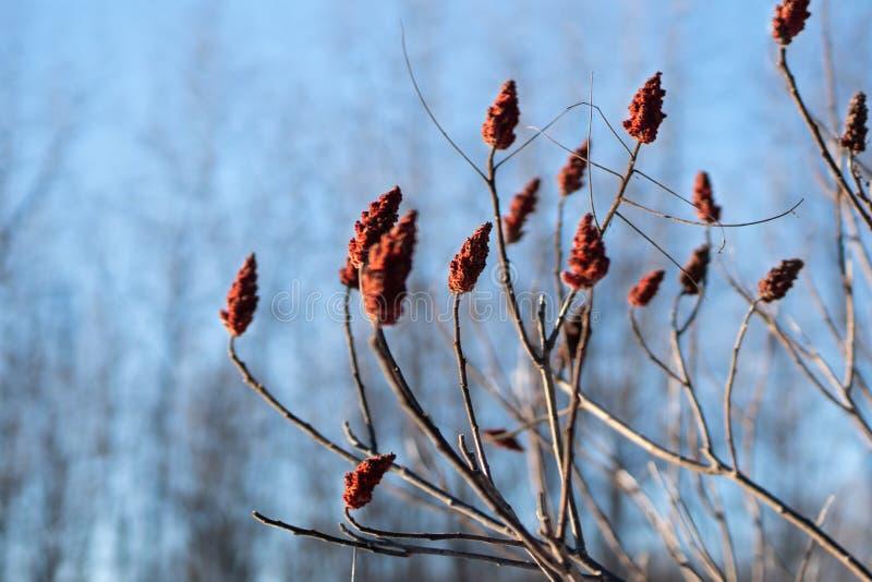 Mooie takken met rode bloemen tegen heldere blauwe de winterhemel royalty-vrije stock afbeelding