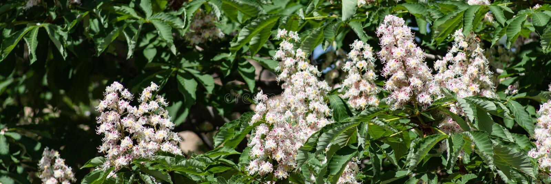 Mooie takken met witte paardekastanjebloemen en groene bladeren stock afbeeldingen