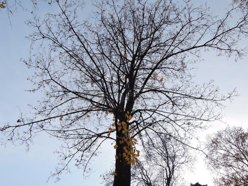 Mooie takken van een donkere boom met gevallen bladeren tegen de grijze de herfsthemel het concept nostalgie en voltooiing royalty-vrije stock foto