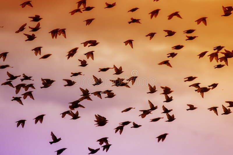 Mooie talrijke troep van starlingsvogels die snel hun veren en vleugels golven en tegen de heldere zonsonderganghemel vliegen stock foto
