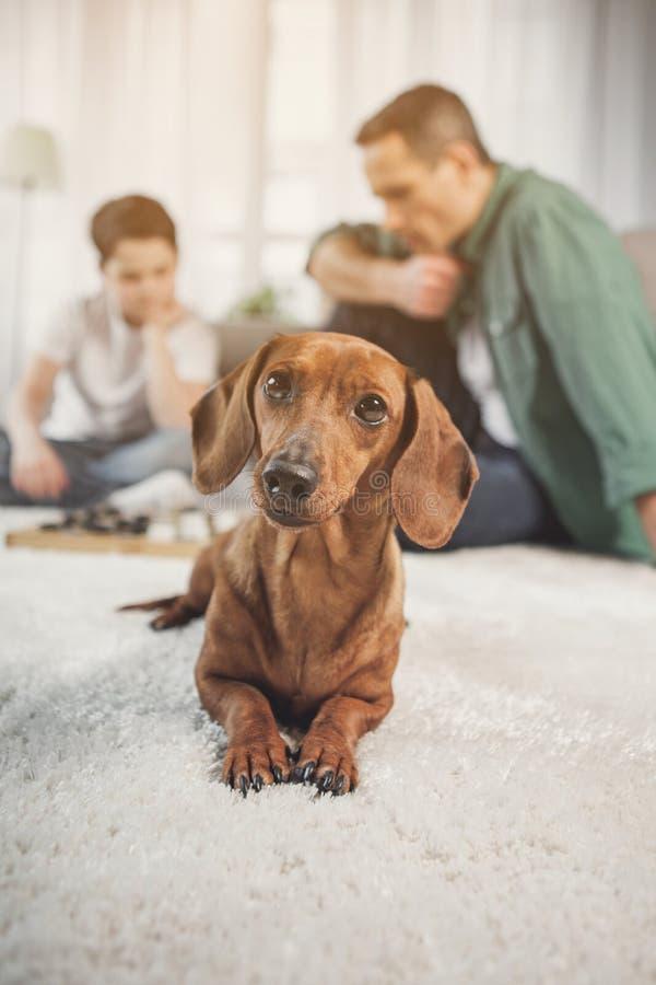 Mooie tekkelhond die op vloer dichtbij de mens en jongen rusten royalty-vrije stock foto's