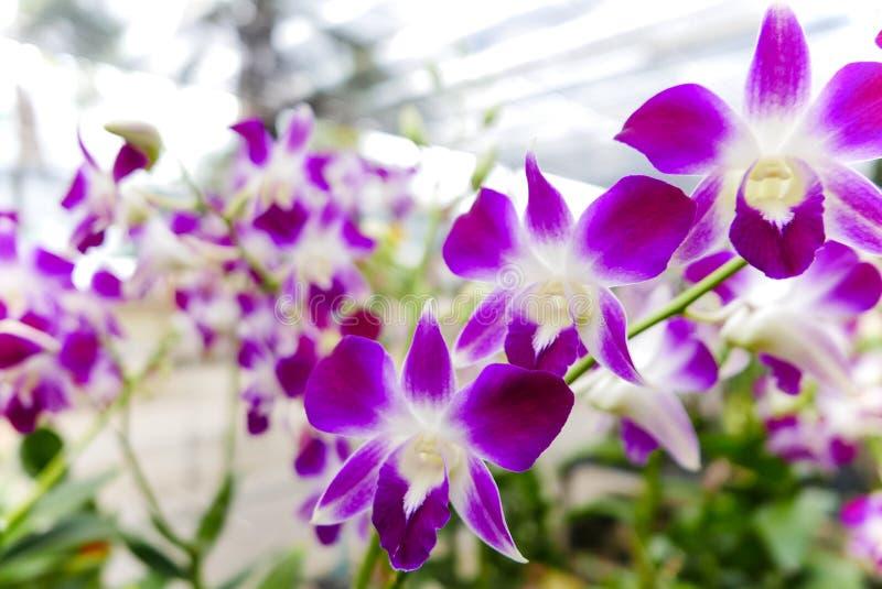 Mooie Thaise orchideebloem stock afbeelding