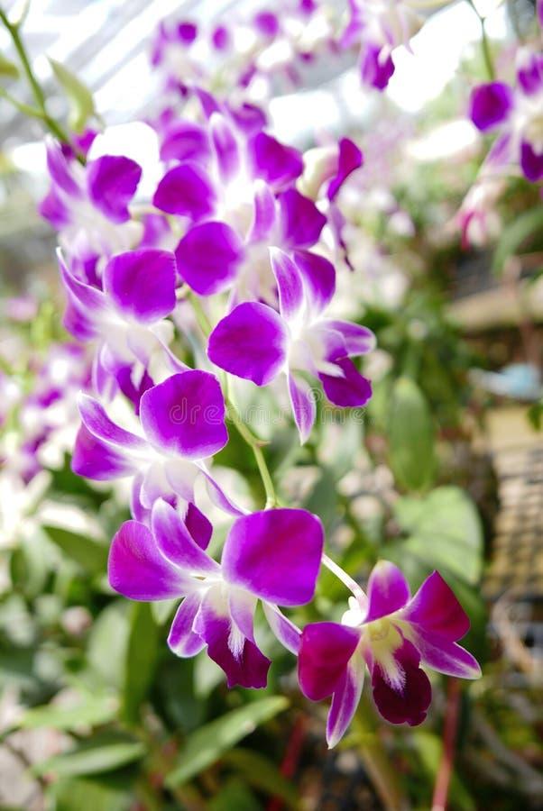Mooie Thaise orchideebloem royalty-vrije stock afbeelding
