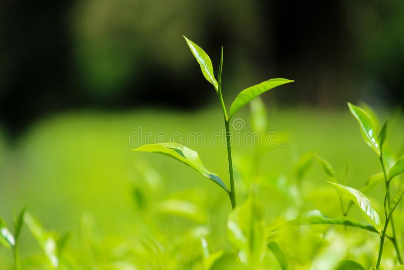 Mooie theeaanplanting in srianka stock afbeelding