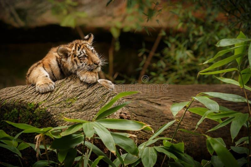 Mooie tijgerwelp in de aard die habitat kijken royalty-vrije stock fotografie
