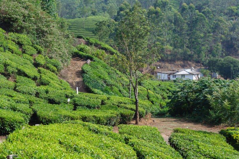Mooie toneelmening van huis op theegebied in berg dichtbij Munnar, Kerala, India royalty-vrije stock afbeeldingen