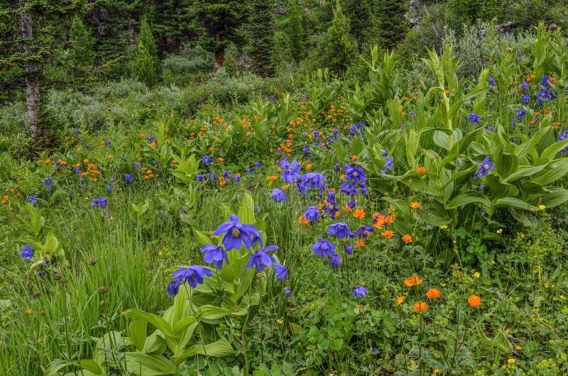 Mooie tot bloei komende alpiene weide met kleurrijk wild bloemencl royalty-vrije stock afbeelding