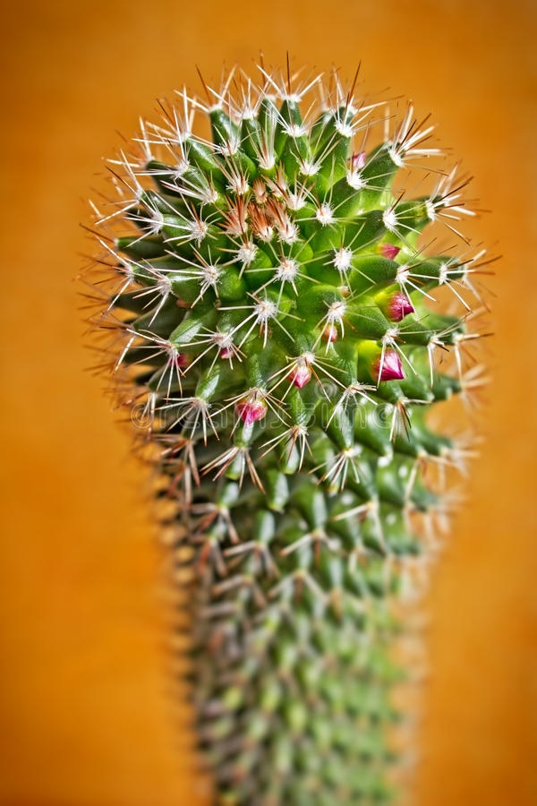 Mooie tot bloei komende cactus stock afbeeldingen